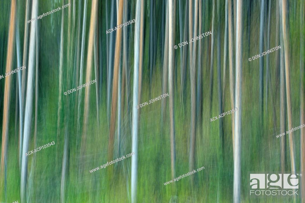 Stock Photo: Lodgepole pine forest, Banff National Park, Alberta, Canada.