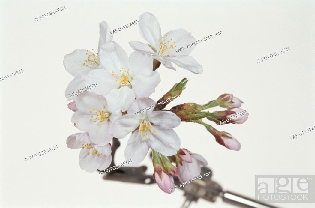 Stock Photo: Cherry Tree.