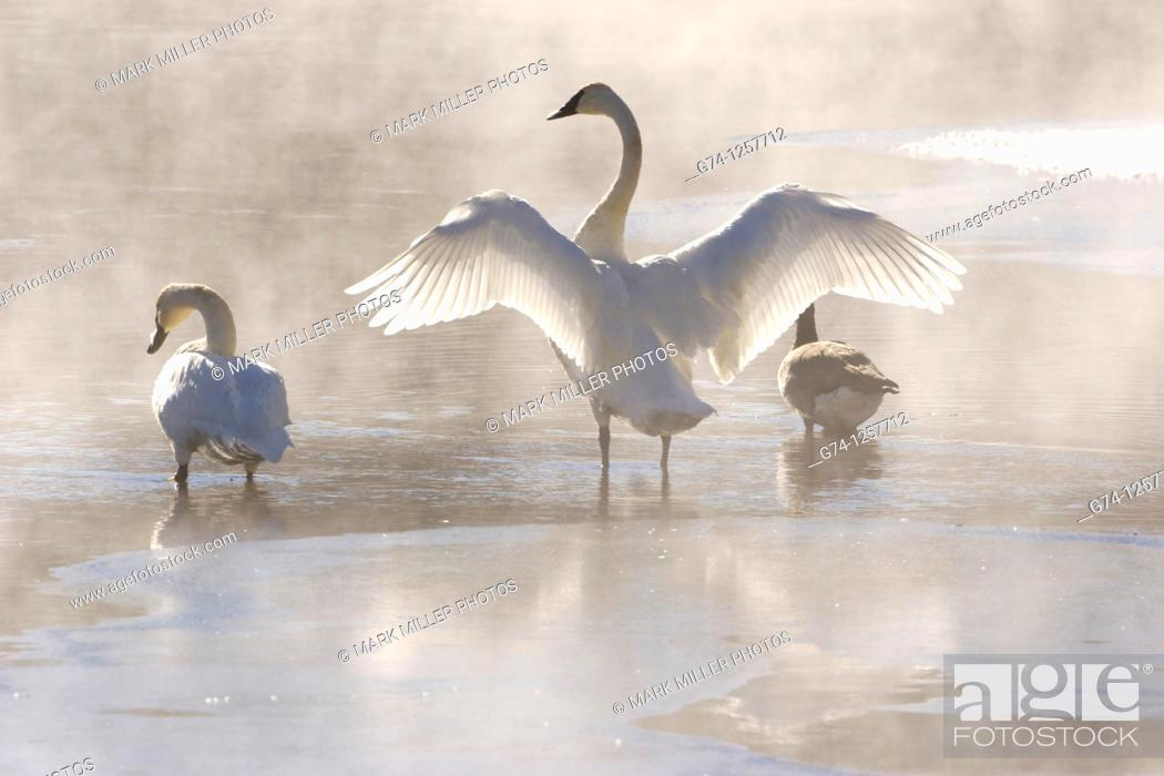 Stock Photo: Trumpeter Swans.