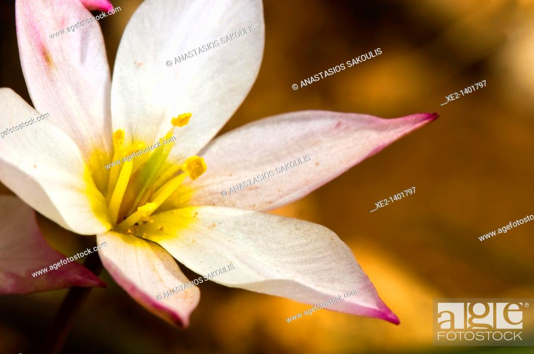 Imagen: Cretan Tulip- Tulipa cretica, an endemic plant of Crete.