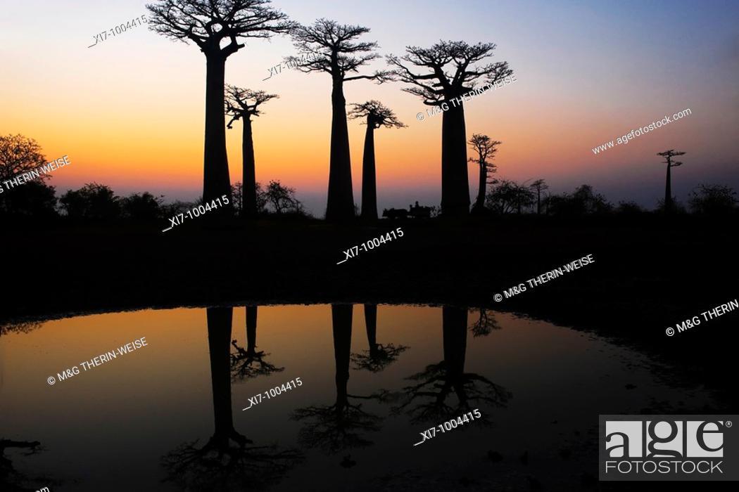 Stock Photo: Baobabs Adansonia Grandidieri at sunset, Morondava, Madagascar Baobabs Adansonia Grandidieri au coucher de soleil, Morondava.