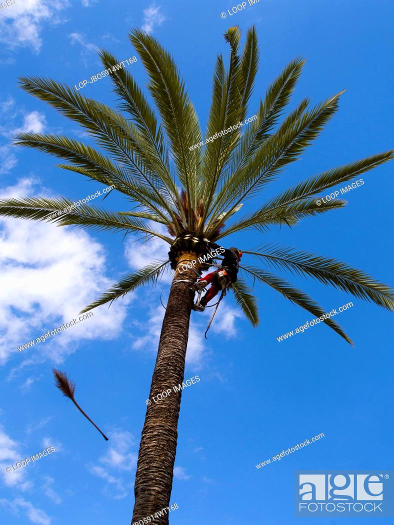Stock Photo: Trimming palm trees outside the Palma de Mallorca bullring.