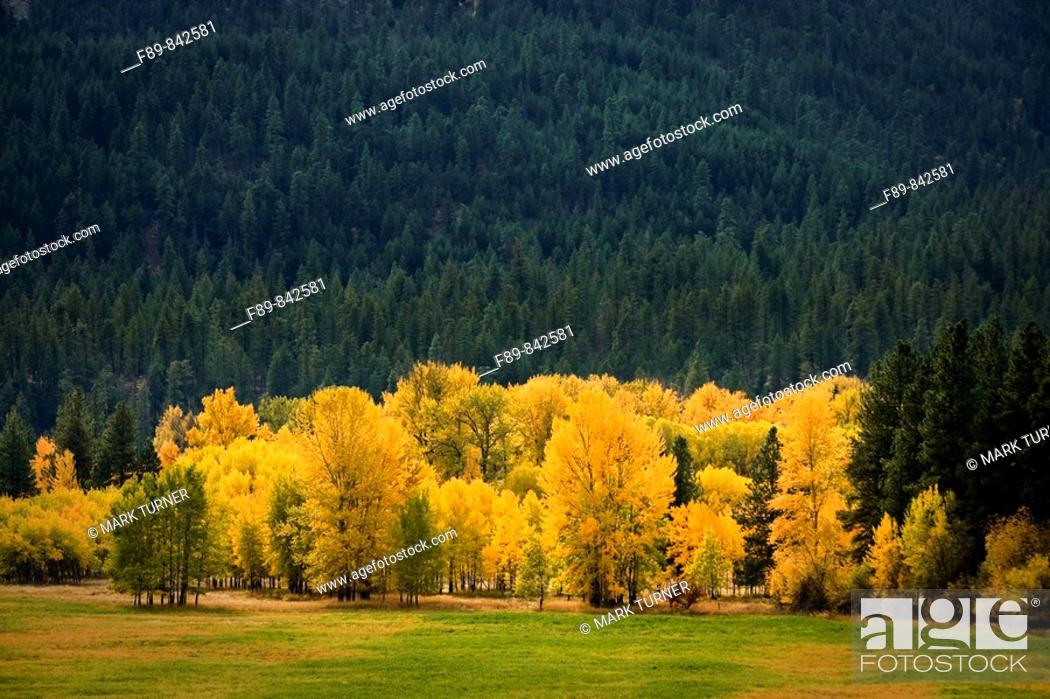 Stock Photo: Black Cottonwoods at edge of field, autumn.
