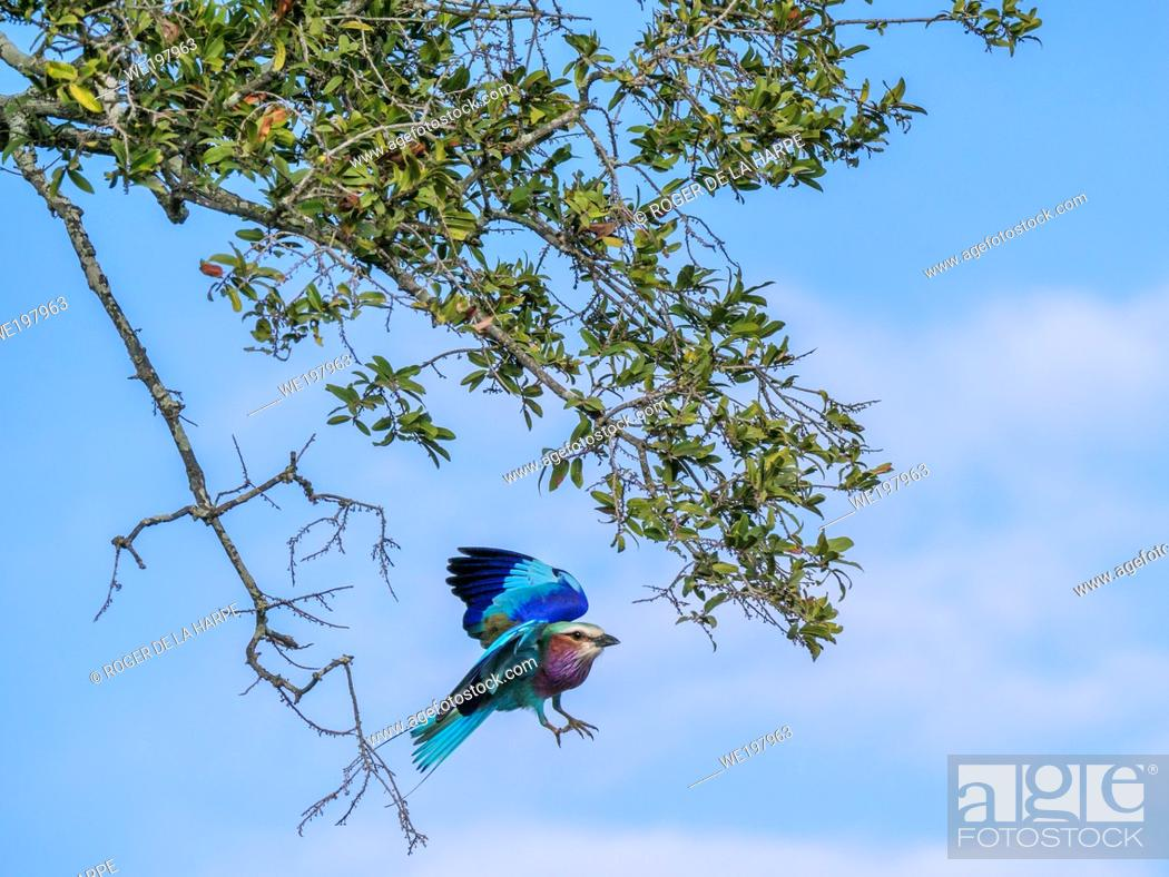 Stock Photo: Llilac-breasted roller (Coracias caudatus) takes flight from a branch. Mpumalanga. South Africa.