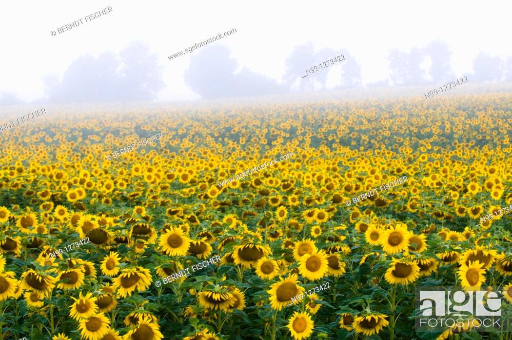 Stock Photo: Sunflower field, morning mist, summer, Bavaria, Germany.
