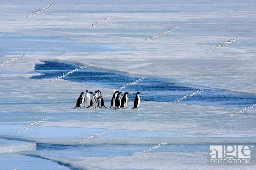 Stock Photo: Adelie Penguin, Small group standing on sea ice (Pygoscelis adeliae). Antarctic. October.