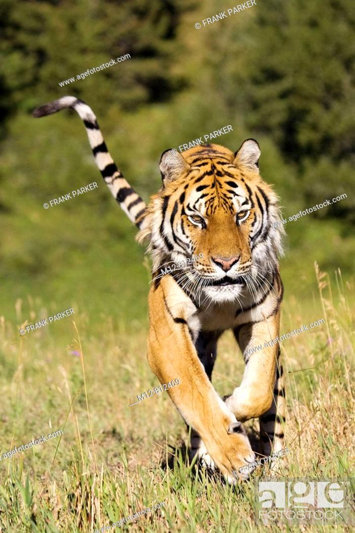 Stock Photo: Tiger on the run.