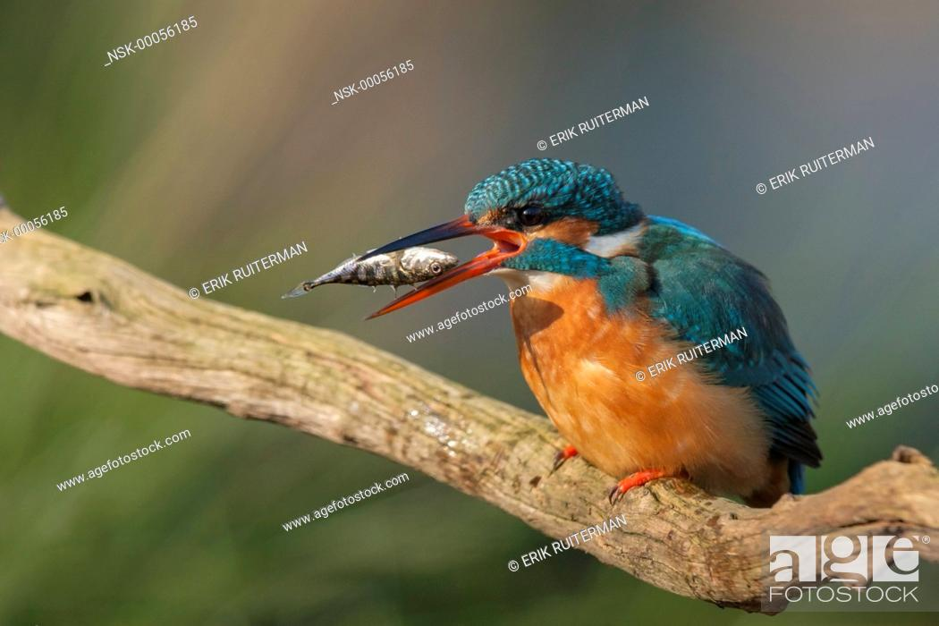 Stock Photo: Common Kingfisher (Alcedo atthis) eating a Three-spined Stickleback (Gasterosteus aculeatus) on a dead stick, Belgium, Flanders.