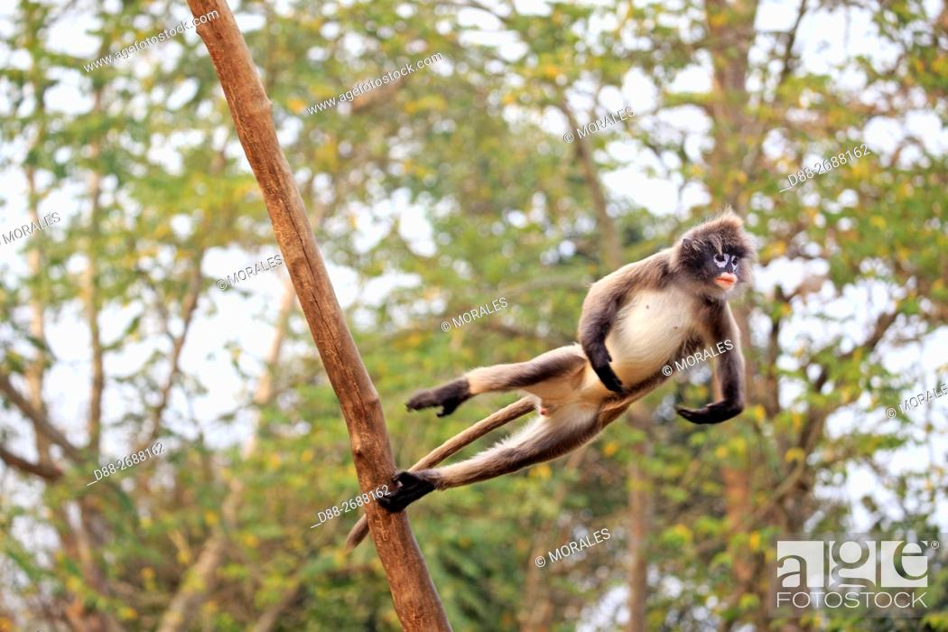 Stock Photo: South east Asia, India, Tripura state, Phayre's leaf monkey or Phayre's langur (Trachypithecus phayrei) jumping.