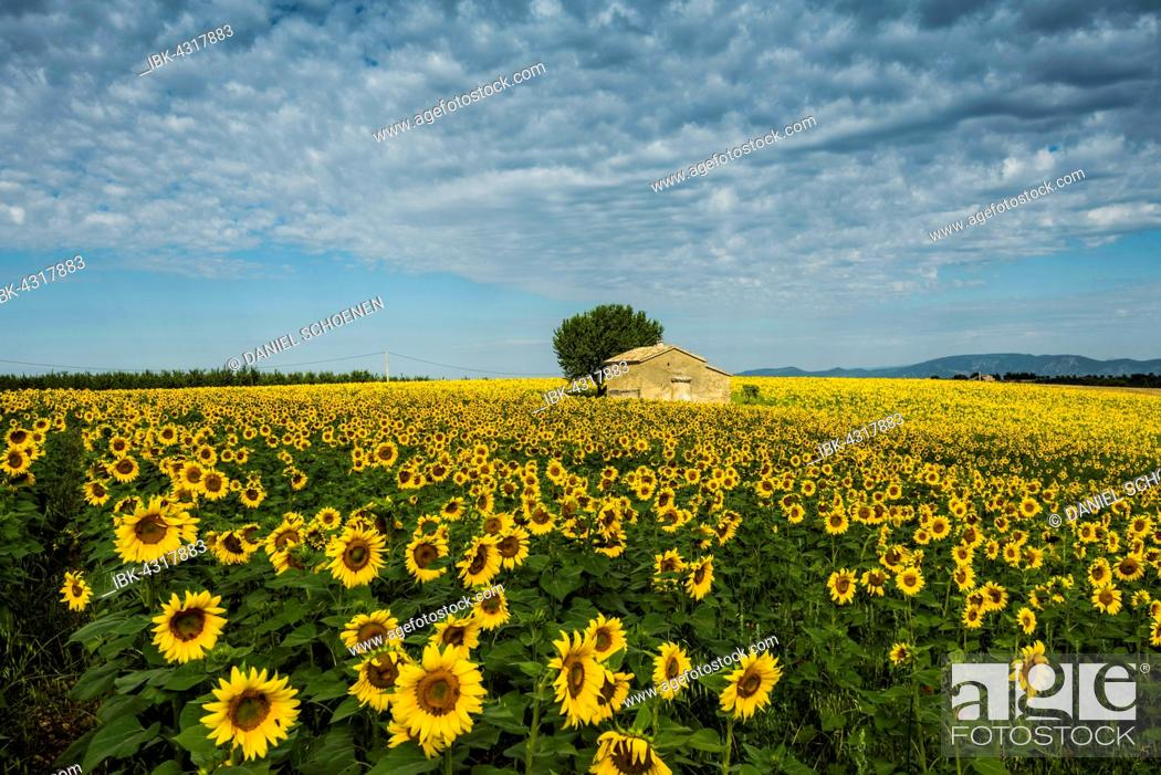 Stock Photo: Blooming sunflower field (Helianthus), Plateau of Valensole, near Valensole, Provence-Alpes-Côte d'Azur, France.