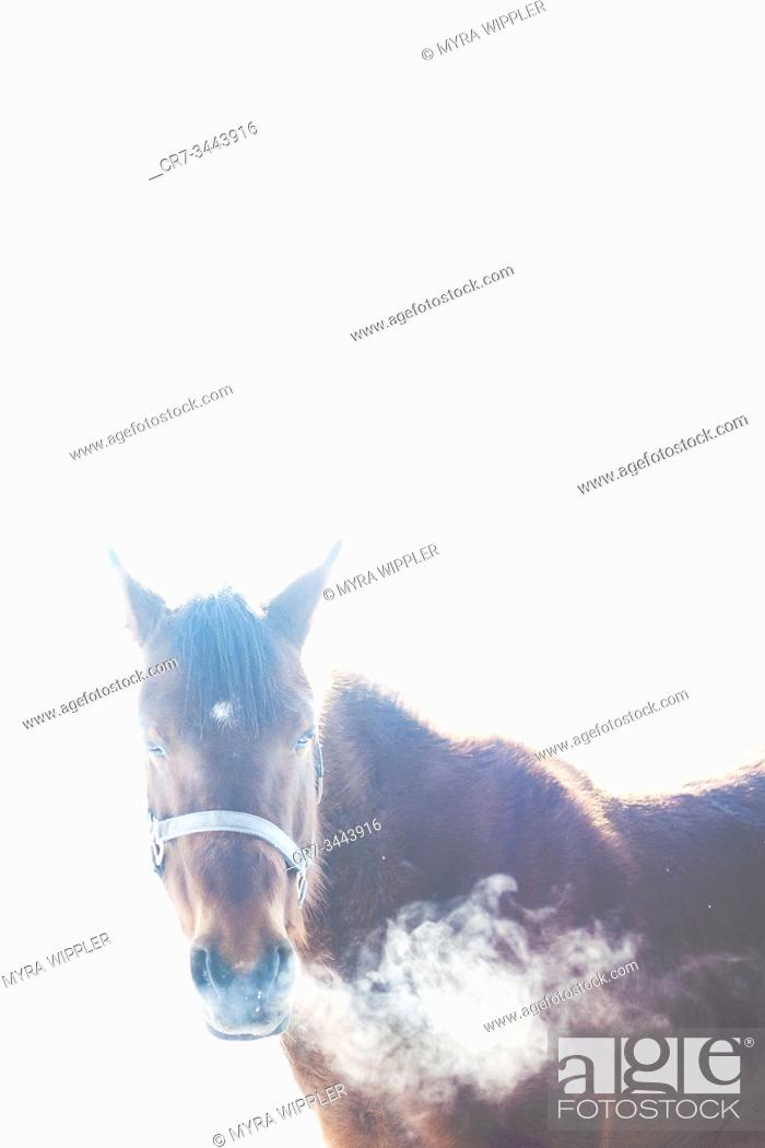 Stock Photo: Brown horse breathing white clouds on a winter day, The Netherlands.