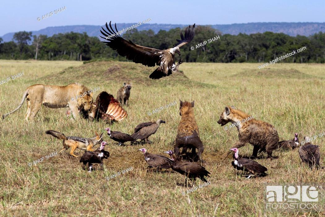 Stock Photo: Hooded vultures (Necrosyrtes monachus) and White-backed vultures (Gyps africanus) being chased by Spotted hyenas (Crocuta crocuta) and Black-back jackals (Canis.