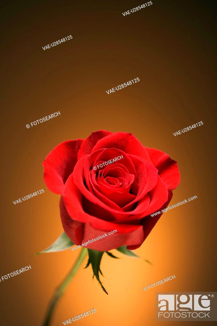 Stock Photo: Single long-stemmed red rose against golden background.