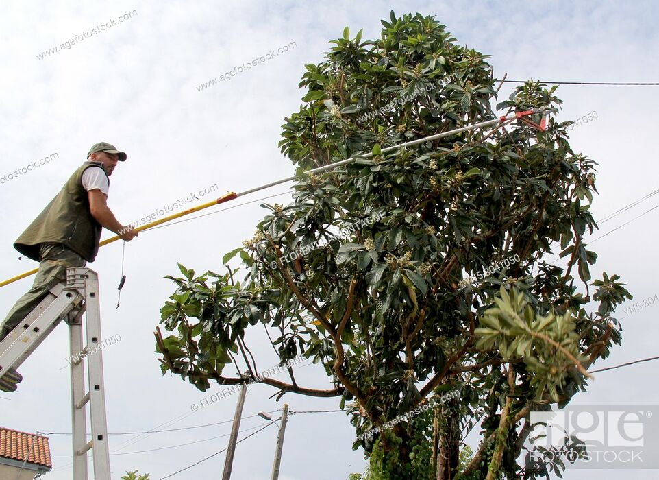 Stock Photo: Pruning of a fruit tree, eriobotrya japonica, with a pruner's tool for cutting branches touching electric pole. Security work and care.
