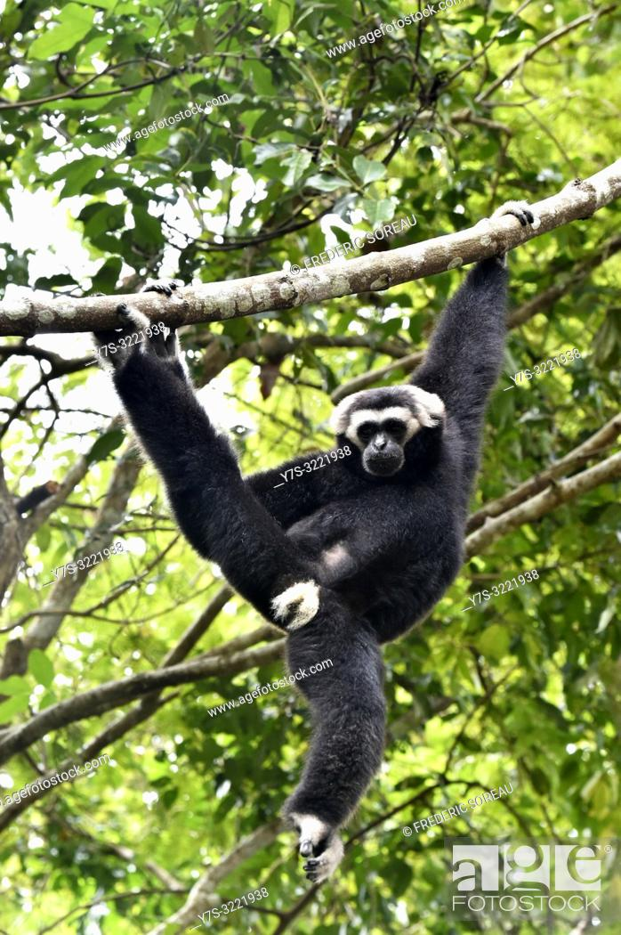 Stock Photo: Yellow-cheeked Crested gibbon male near Siem Reap,Cambodia,South east Asia.