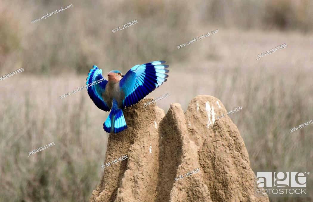 Stock Photo: Indian roller (Coracias benghalensis), landing on a termite hill, India, Madhya Pradesh.