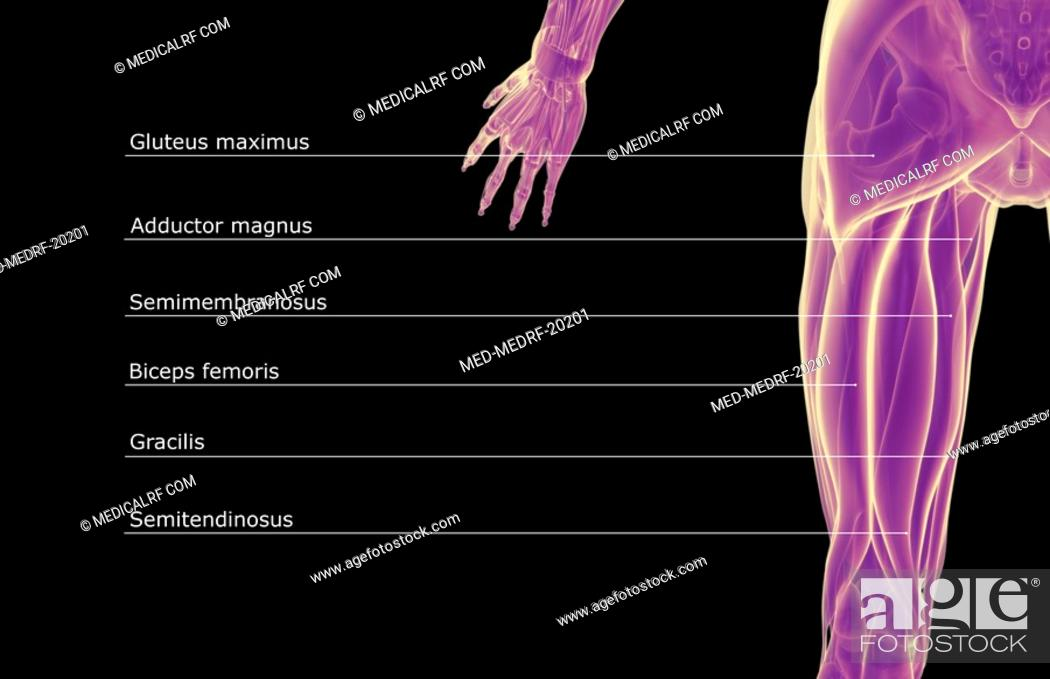 Stock Photo: The muscles of the thigh.