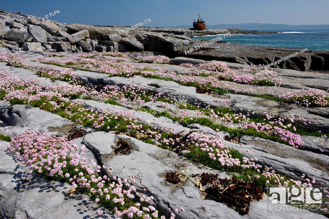Thrift Armeria maritima flowering, on limestone pavement