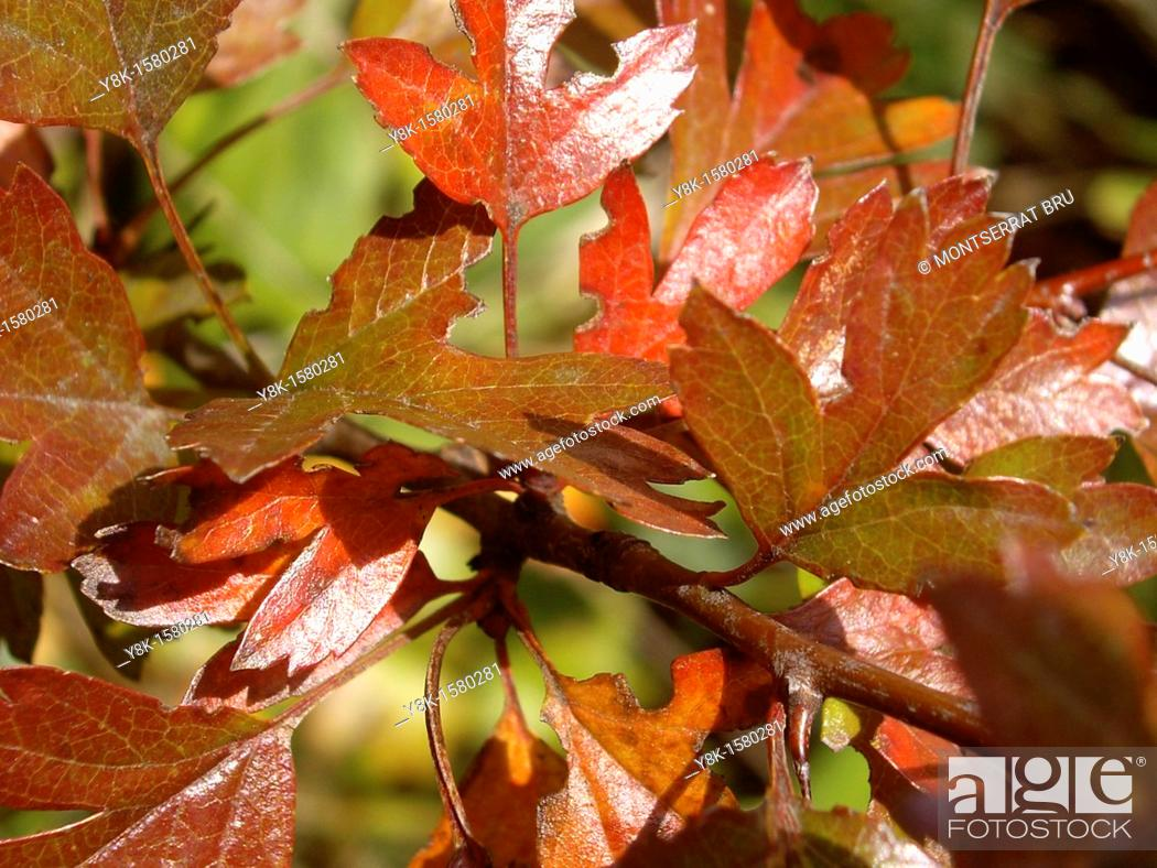 Stock Photo: Copper colour leaves on branch.