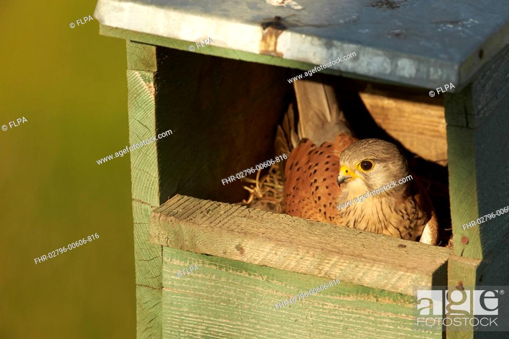 Stock Photo: Common Kestrel (Falco tinnunculus) adult male, incubating eggs in nestbox, Hungary, May.