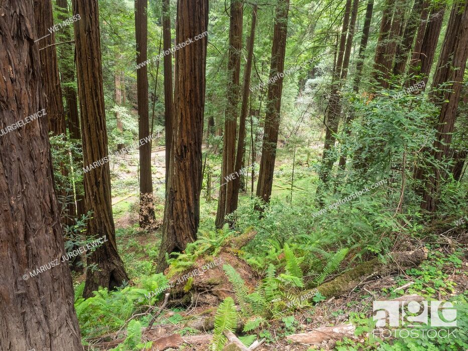 Stock Photo: Muir Woods National Monument is an old-growth coastal redwood forest.