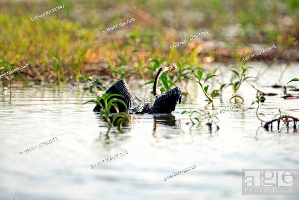 Oriental darter (Anhinga melanogaster), Catching a fish