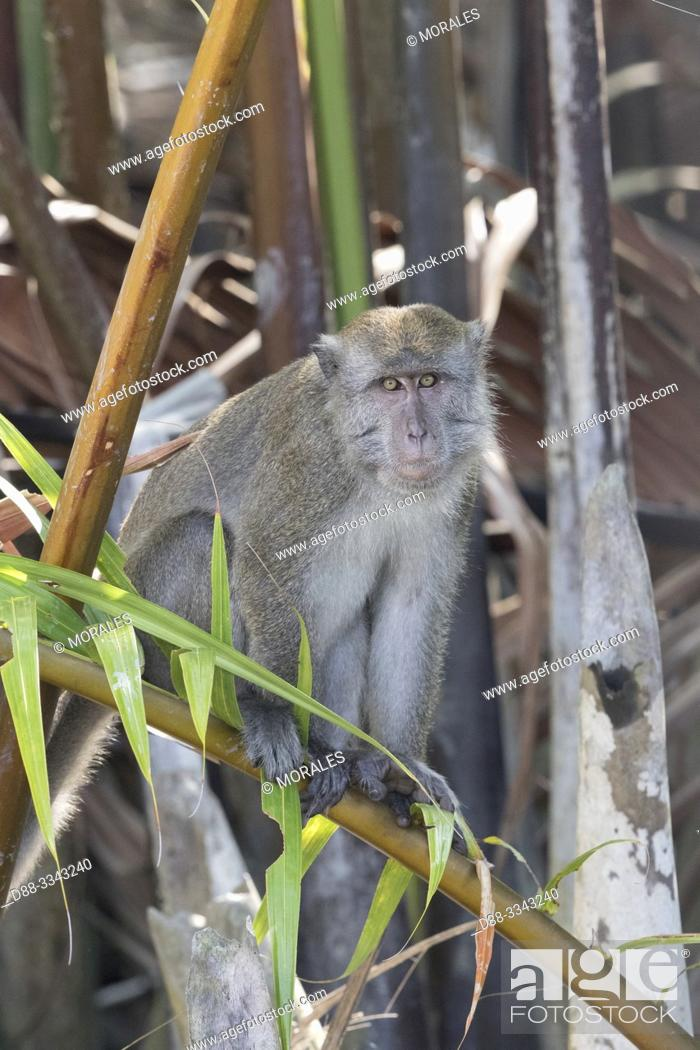 Stock Photo: Asia, Indonesia, Borneo, Tanjung Puting National Park, Crab-eating macaque or long-tailed macaque (Macaca fascicularis), adlut male near by the water.