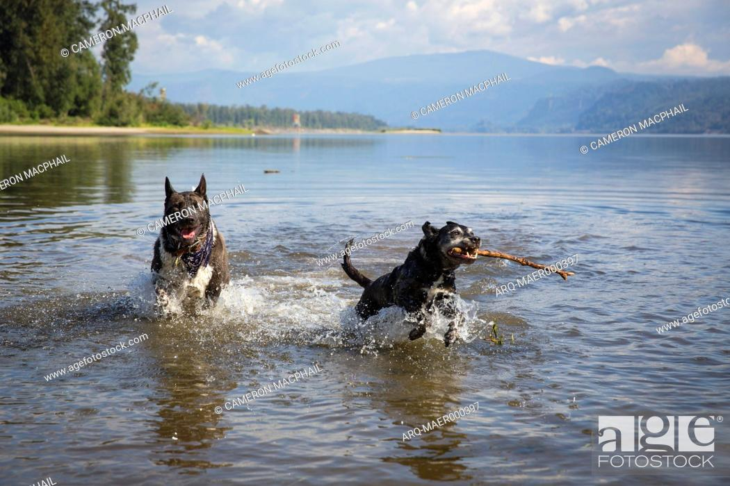Imagen: Two black dogs playing in Columbia River, Portland, Oregon, USA.
