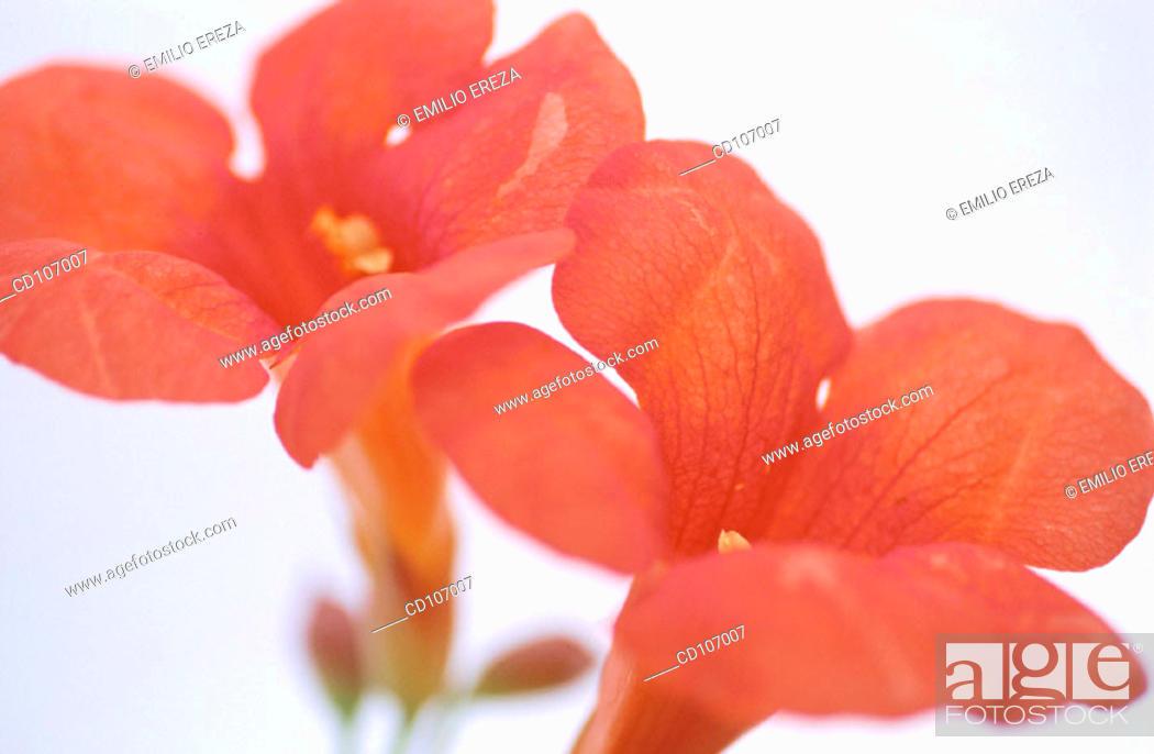 Stock Photo: Trumpet Vine (Campsis radicans).