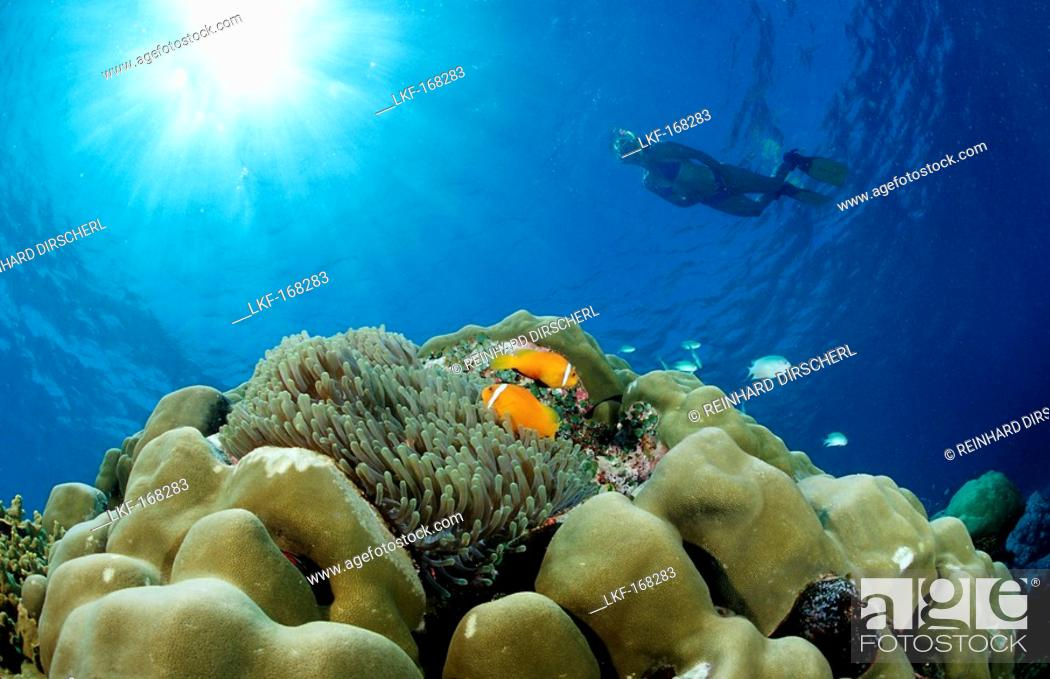 Stock Photo: Maldive Anemonefishes and Snorkeler, Amphiprion nigripes, Maldives, Indian Ocean, Meemu Atoll.