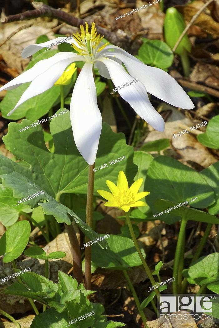 Stock Photo: A new growth of bloodroot, Sanguinaria canadensis, Pennsylvania, USA.