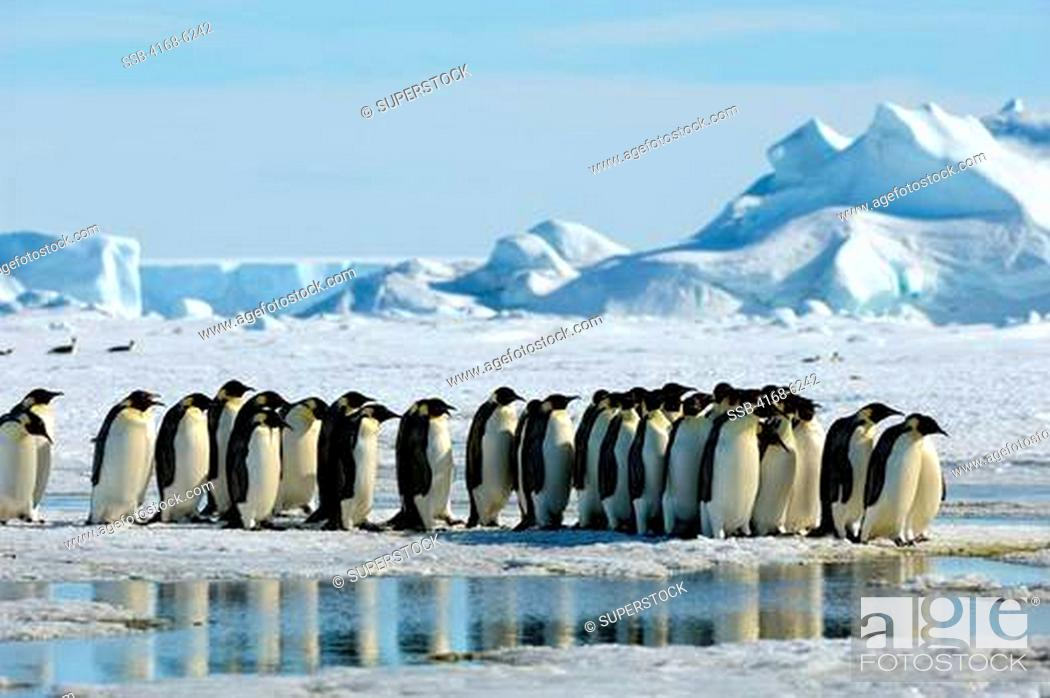 Imagen: ANTARCTICA, WEDDELL SEA, SNOW HILL ISLAND, GROUP OF EMPEROR PENGUINS Aptenodytes forsteri ON FAST ICE ON THE WAY TO COLONY.