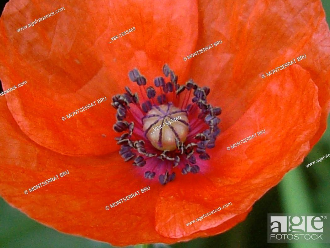 Stock Photo: Red poppy.