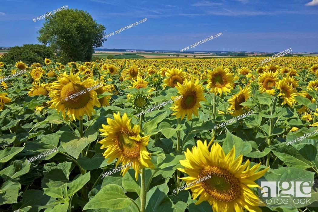 Stock Photo: Sunflower field near Aub, Lower Franconia, Bavaria, Germany.