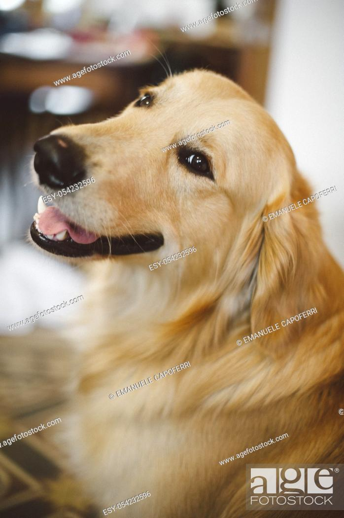 Stock Photo: Portrait of Golden retriever in the house.