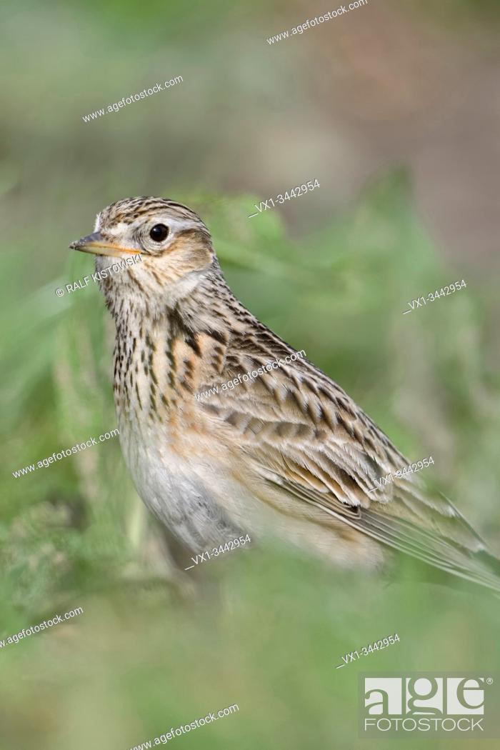 Stock Photo: Skylark / Feldlerche ( Alauda arvensis ) sitting on the ground, in typical surrounding, bird of open farmland, wildlife, Europe.