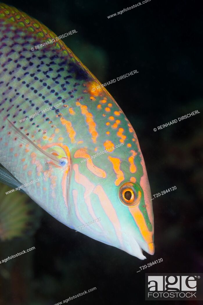 Imagen: Checkerboard Wrasse, Halichoeres hortulans, South Male Atoll, Maldives.