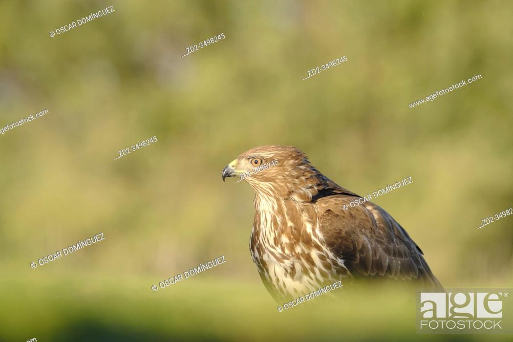 Imagen: Eurasian Buzzard (Buteo buteo) perched on ground. Lleida province. Catalonia. Spain.