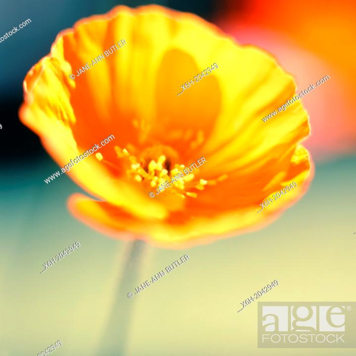 Stock Photo: stunning orange poppy soft and ethereal in natural setting, garden flower.