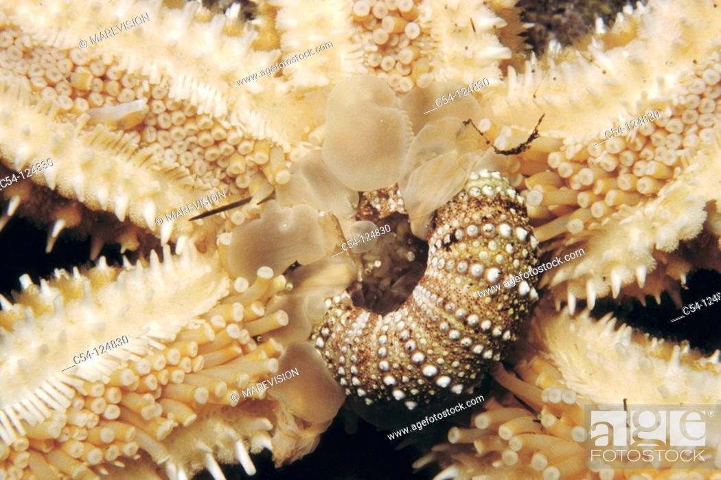 Photo de stock: Starfish (Marthasterias glacialis) devouring sea urchin. Ria of Vigo, Pontevedra province, Galicia, Spain.