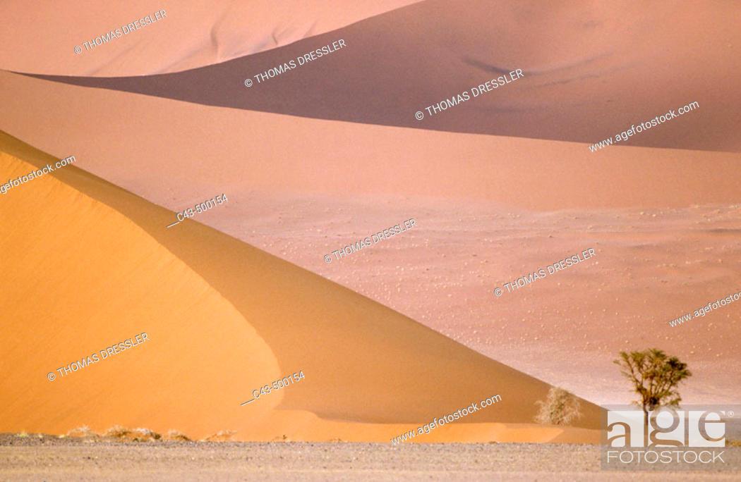 Stock Photo: Camelthorn tree (Acacia erioloba) and sand dunes in the Namib Desert. Namib-Naukluft Park, Namibia.