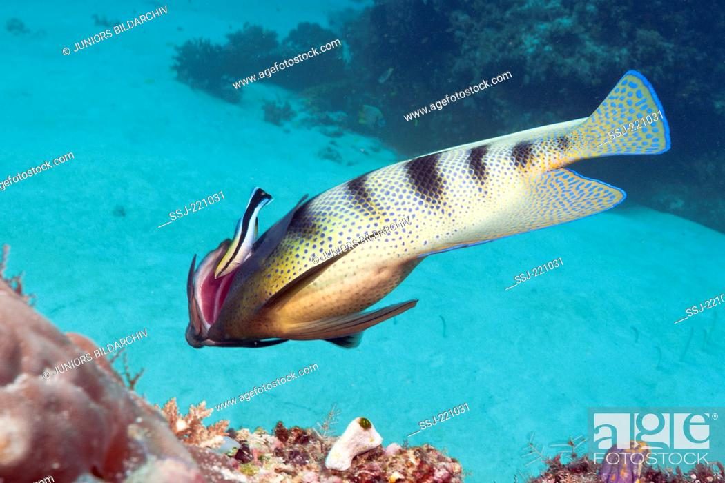 Stock Photo: Six-banded Angelfish (Pomacanthus sexstriatus) cleaned by Cleaner Wrasse (Labroides dimidiatus), Komodo National Park, Indonesia.