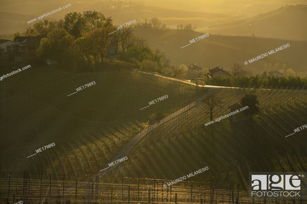 Stock Photo: View over the vineyards in the hills of the Langhe in Piedmont Italy illuminated by the warm light of the setting sun, with backlighting.
