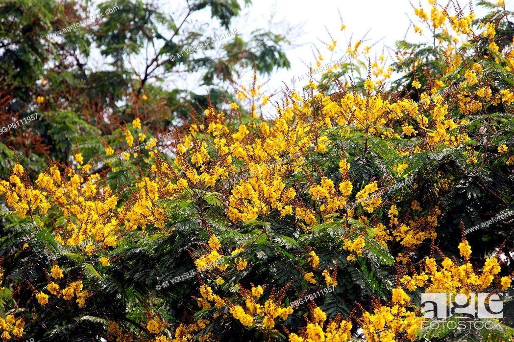 Imagen: Krishnochura or Peacock Flower tree at Crescent Lake, Dhaka, Bangladesh.