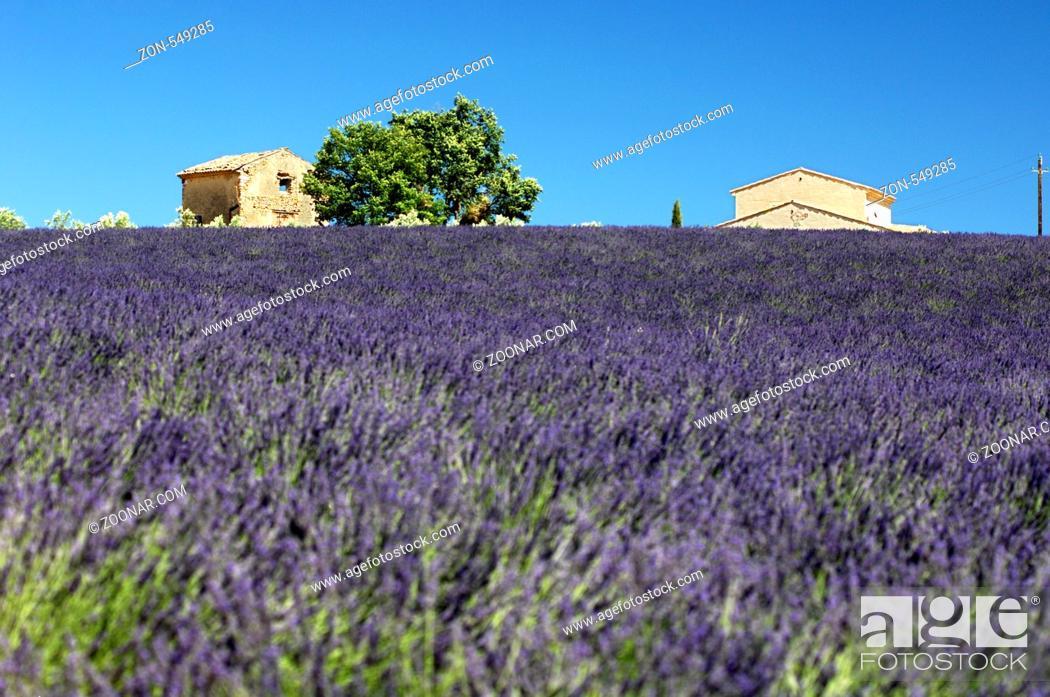 Stock Photo: Anbau von Lavendel, Plateau de Valensole, Provence, Frankreich / Lavender field, Plateau de Valensole, Provence, France.