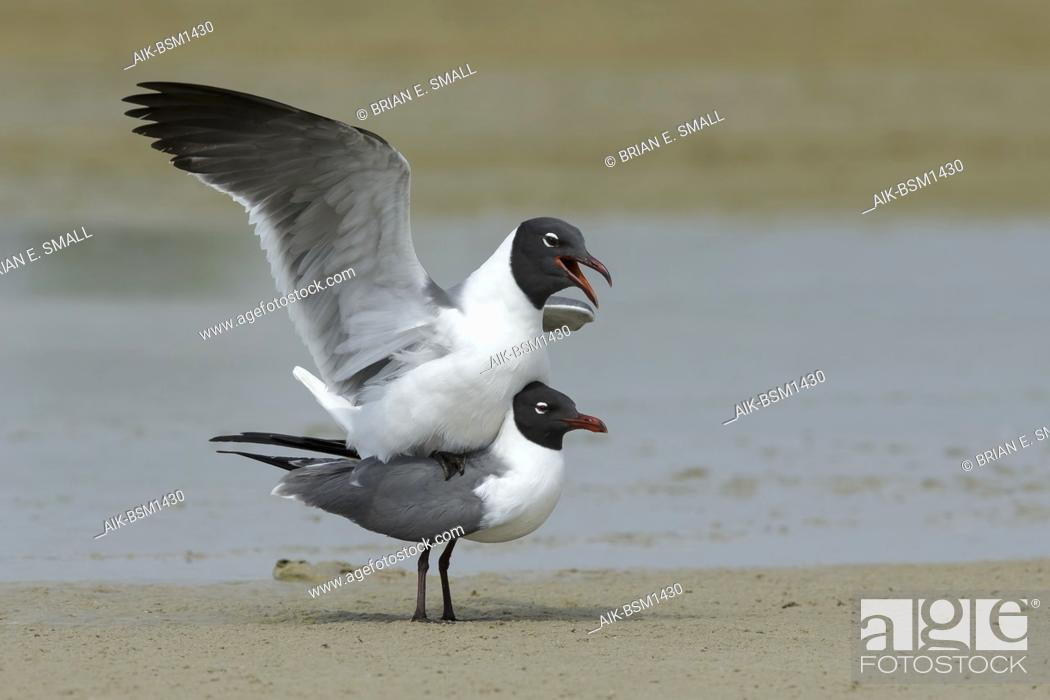 Imagen: Adult Laughing Gulls (Larus atricilla) in breeding plumage in Galveston County, Texas, USA. Mating on the beach.