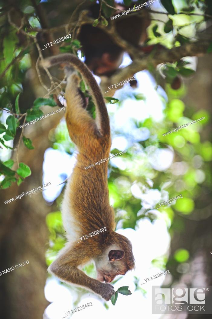 Stock Photo: Toque macaque (Macaca sinica) hanging from tree in Anuradhapura, Sri Lanka.