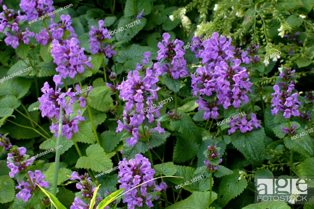 Stock Photo: Woundwort Stachys grandiflora Stachys macrantha.