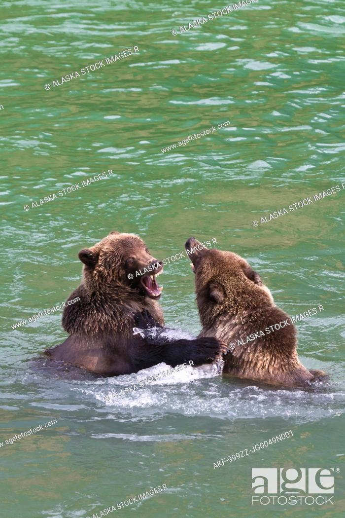 Stock Photo: Two sub-adult Brown Bears play fighting in the Chilkoot River near Haines, Southeast Alaska, Autumn.