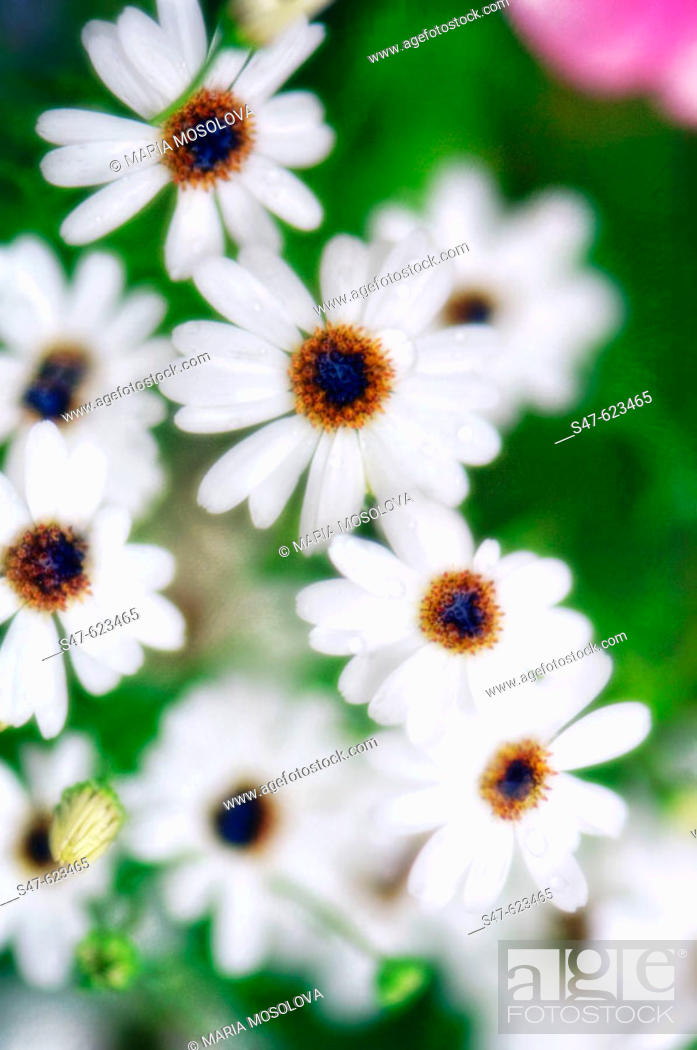 Stock Photo: White Swan River Daisies. Brachycome iberidifolia. July 2006, Maryland, USA.